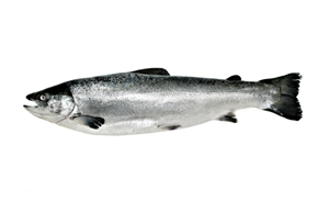 Picture of Salmon, fresh, whole, size 2 - 3 kg